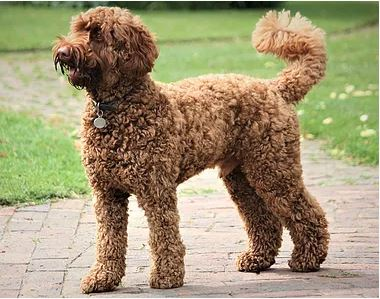 Texas Australian Labradoodle Learning Center | Labradoodle Characters