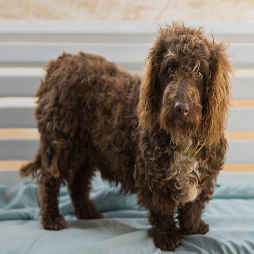 Texas Australian Labradoodle Learning Center | Labradoodle