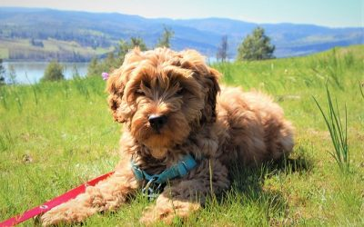 Important Factors to Consider When Purchasing an Australian Labradoodle