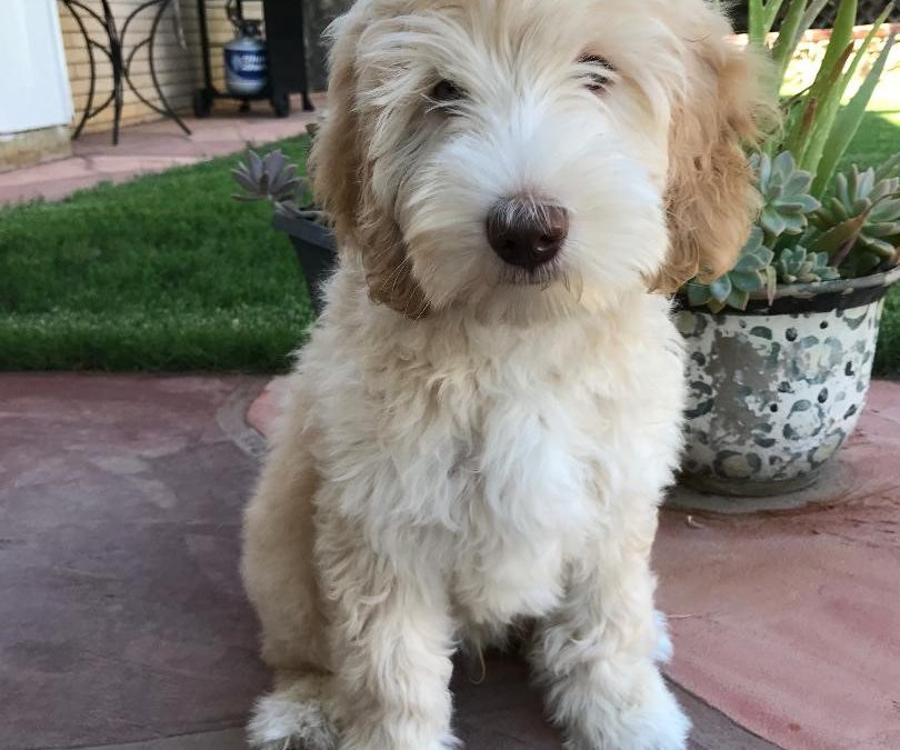 When to Neuter or Spay your Australian Labradoodle Puppy