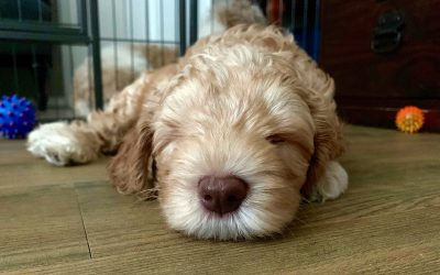 Do Labradoodles Make Good Pets?