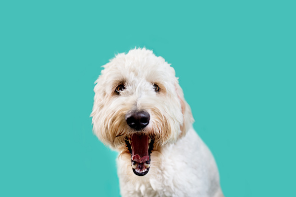 Doodle Dental Care: Tips and Tricks from the Pros