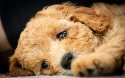 Choosing the Labradoodle with the Right Temperament for You