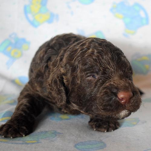 åTexas Australian Labradoodles multigenerational puppies