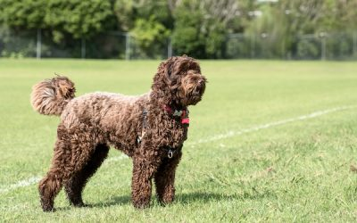 Labradoodle Shades: A Beginner's Guide to Coat Colors