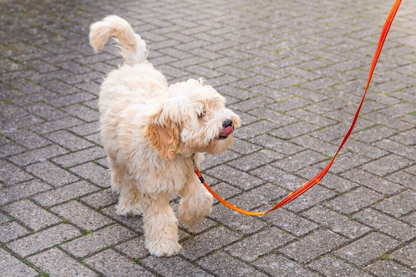 Exercising Labradoodle Puppies: The Basics