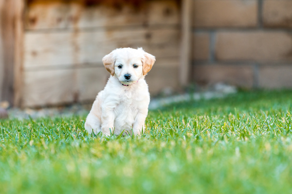 Mini Labradoodles Puppy